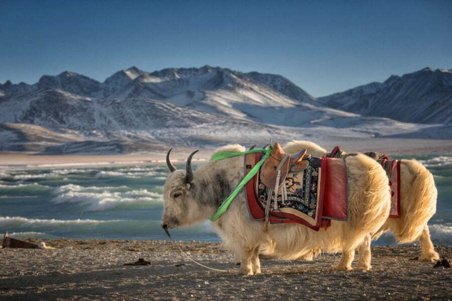 yak at namtso lake tibet